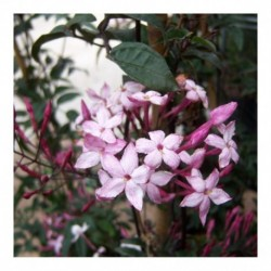 Jasminum polyanthum dark red-leaved