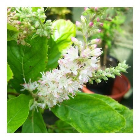 Clethra Alnifolia Fern Valley Pink