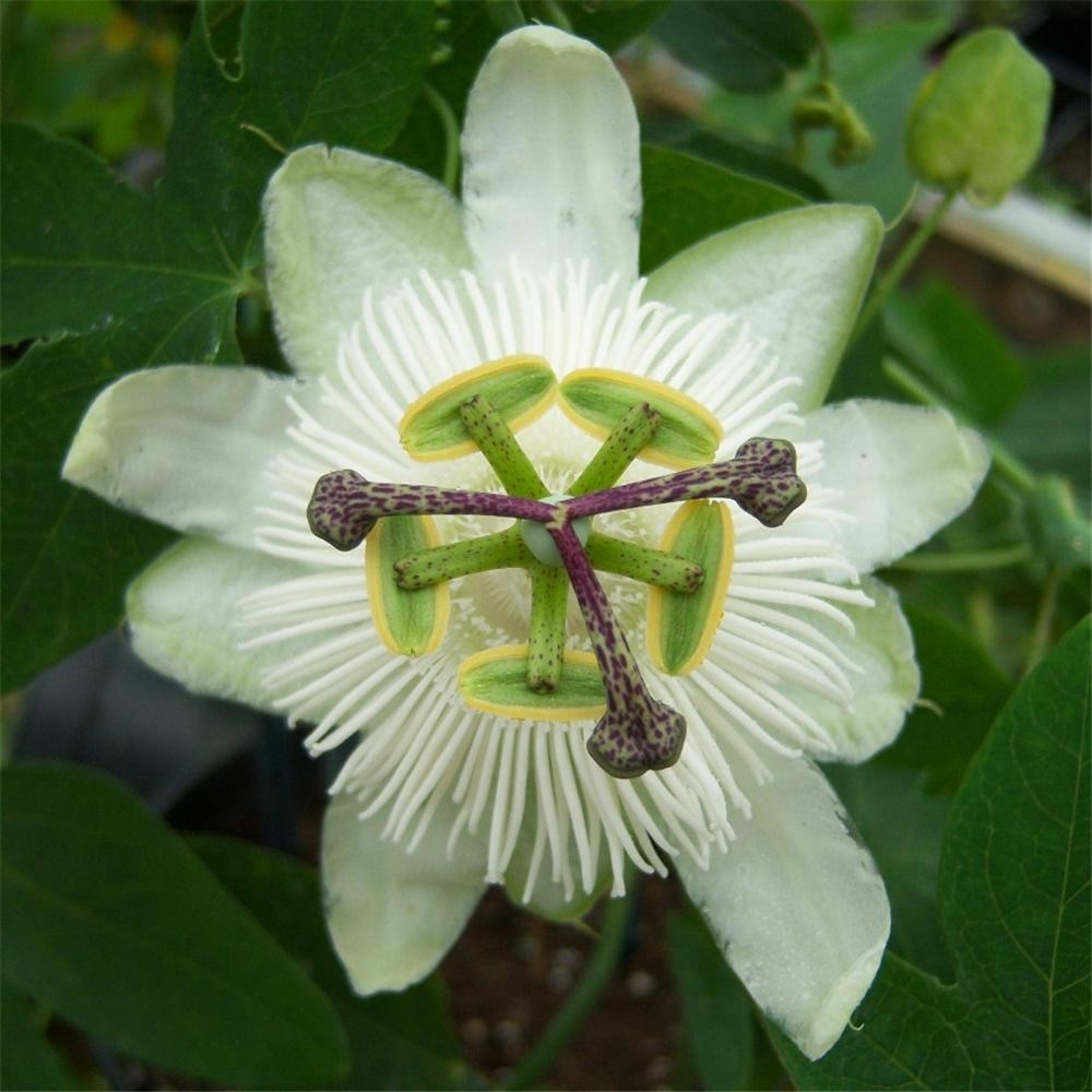 Passiflora white wedding dhlflorist Images