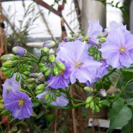 Solanum wendlandii Potato Tree